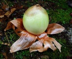 Onion_poultic-750
