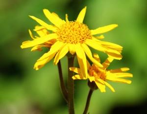 Arnica_700_montana_flower