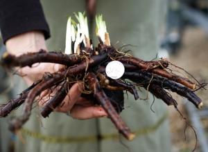 Symphytum x uplandicum (Russian Comfrey) from Horizonherbs.com